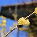 写真: 青空と蝋梅 (3)