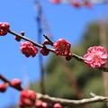 写真: 青空と紅梅