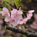 写真: 河津桜1