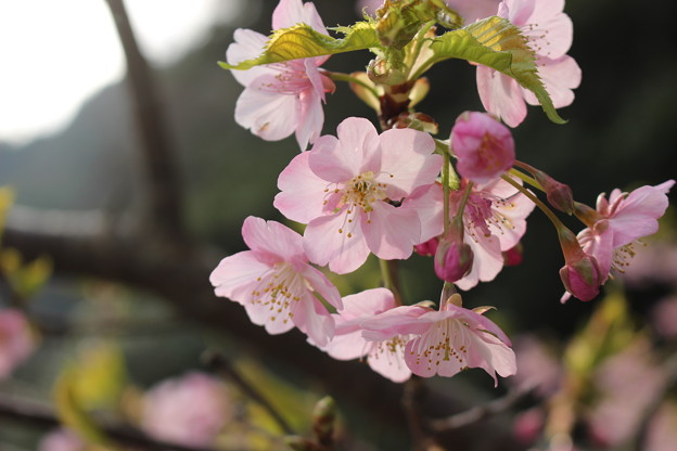 Photos: 河津桜4