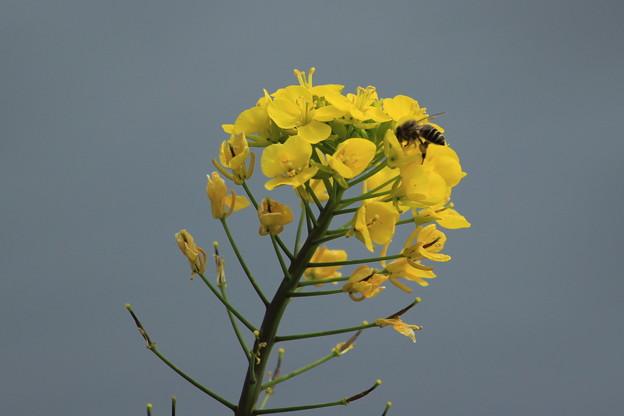 写真: 菜の花4