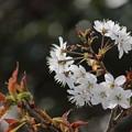 Photos: いろんな桜2