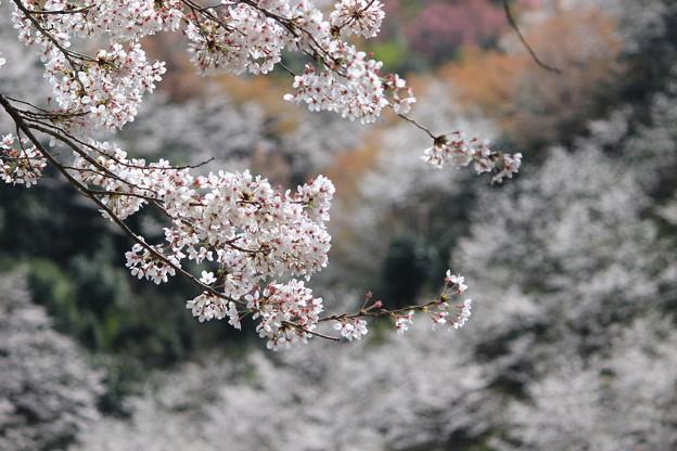 山里の桜2