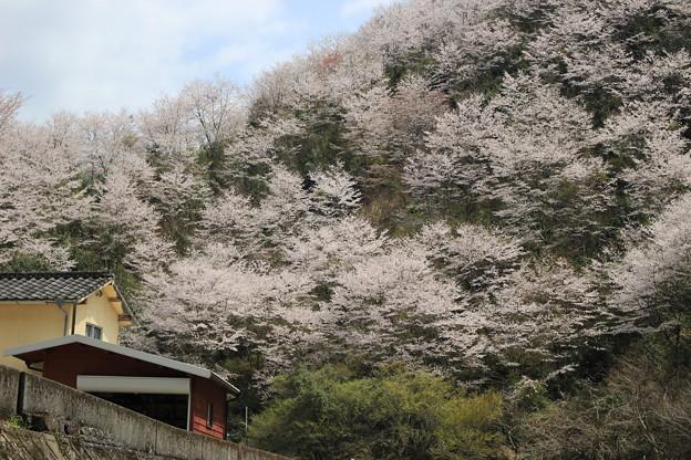 山里の桜3