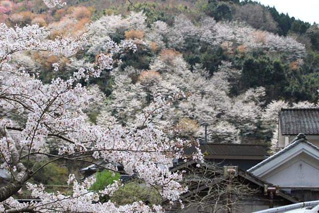 山里の桜4