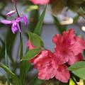 ツツジと紫蘭