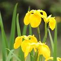 Photos: 黄色い菖蒲