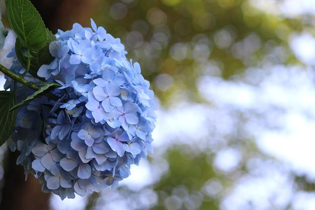 Photos: 紫陽花6