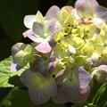 写真: 紫陽花9