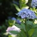 Photos: 紫陽花10