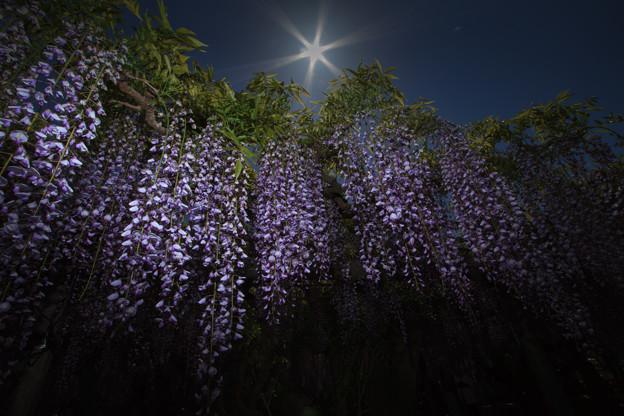 写真: 熊野の長藤-2