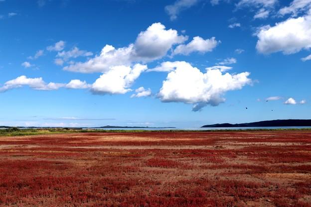 写真: 能取湖サンゴ草