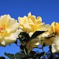 写真: 秋のバラ