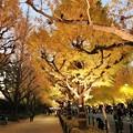 Photos: 黄金色のトンネル・絨毯