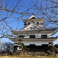 Photos: 館山城里見桜は蕾