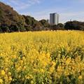 写真: 黄色に染まる都心の春