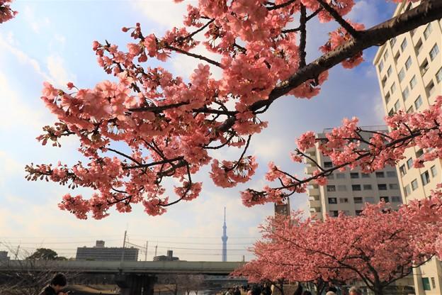 Photos: 東京の河津桜