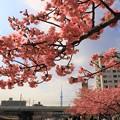 写真: 東京の河津桜