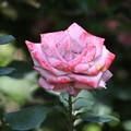 鮮やかな薔薇