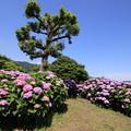 Photos: 山あいに咲く