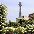 マリンタワーと白バラ
