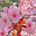 Photos: 5月2日:帯広緑ヶ丘公園 桜2