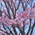Photos: 5月2日:帯広緑ヶ丘公園 桜3