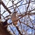 Photos: 5月2日:帯広緑ヶ丘公園にて野鳥を撮影