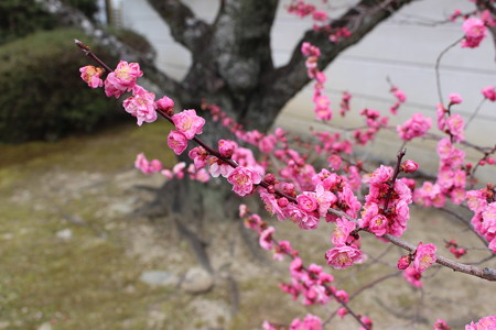 【法華寺】咲き誇る梅