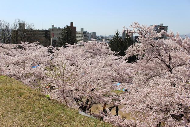 桜の川 #岩手散歩2016