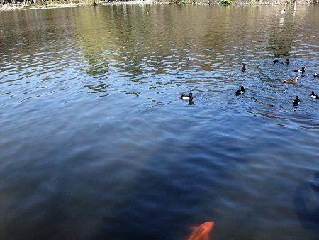 池に鯉と鴨