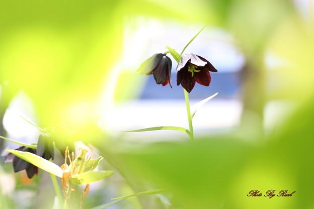 恋の花は黒い!