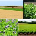 写真: 小麦畑と芋畑