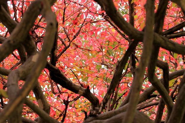 秋の葉錦木