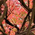 写真: 秋の葉錦木