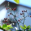 野薔薇の赤い実