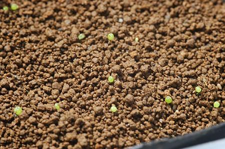 ブルゲリの発芽