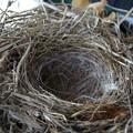 写真: セキレイの巣