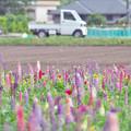 写真: ルピナス畑