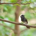 写真: サンコウチョウ幼鳥