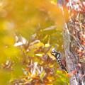 写真: 紅葉オオアカゲラ