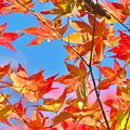 写真: 青空紅葉