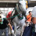 写真: 誘導馬 ミルキー_1(17/08/15・笠松競馬場)