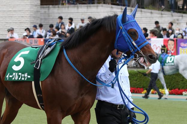 イーグルフェザー パドック_2(18/11/10・第23回 東京中日スポーツ杯武蔵野ステークス)