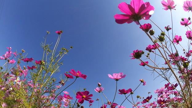 まだまだきれいなコスモスの花_03