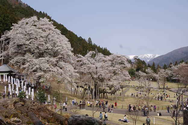 s3099_根尾谷淡墨桜と雪渓