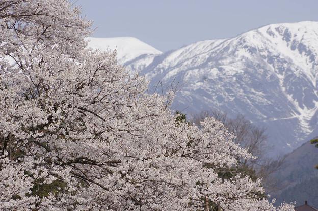 s3108_根尾谷淡墨桜と雪渓