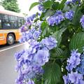 Photos: s5198_アジサイと江ノ電バス