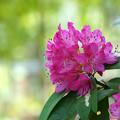 Photos: 鮮やか石楠花