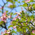 Photos: 花咲く街路樹